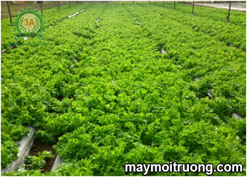 Cách xử lý phụ phẩm sau trồng nấm làm giá thể trồng rau sạch